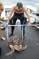 pk80472-D. Hawksbill Sea Turtle (Eretmochelys imbricata). Larry Wood collecting data for The Hawksbill Study, a research project focusing on population dynamics. Here Wood, a sea turtle biologist and Curator of the Loggerhead Marinelife Center of Juno Beach, measures subadult turtle's carapace width using calipers. Florida, USA, Atlantic Ocean..Photo Copyright © Brandon Cole. All rights reserved worldwide.  www.brandoncole.com..This photo is NOT free. It is NOT in the public domain. This photo is a Copyrighted Work, registered with the US Copyright Office. .Rights to reproduction of photograph granted only upon payment in full of agreed upon licensing fee. Any use of this photo prior to such payment is an infringement of copyright and punishable by fines up to  $150,000 USD...Brandon Cole.MARINE PHOTOGRAPHY.http://www.brandoncole.com.email: brandoncole@msn.com.4917 N. Boeing Rd..Spokane Valley, WA  99206  USA.tel: 509-535-3489