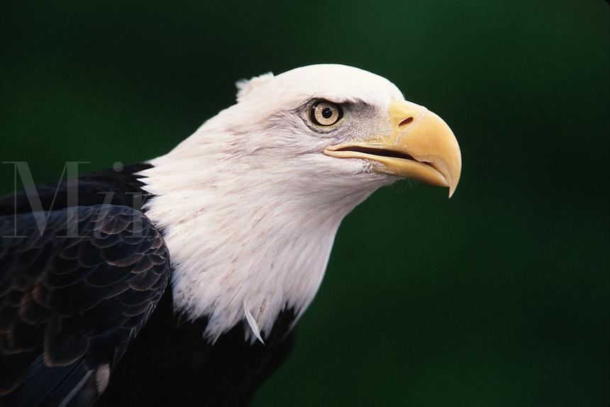 Profile portrait of the head of a Bald eagle (H. Leucocephalus).