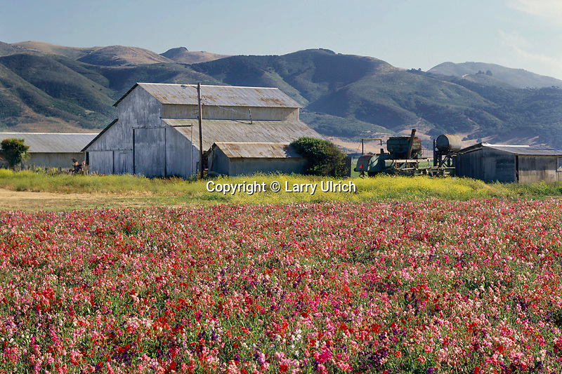 Sweet pea fields<br />   near Lompoc<br /> Santa Barbara County<br /> California