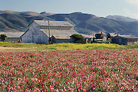 Sweet pea fields<br />