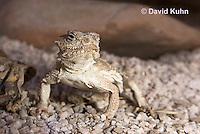 0610-1012  Desert Horned Lizard or Horny Toad (Mojave Desert), Phrynosoma platyrhinos  © David Kuhn/Dwight Kuhn Photography