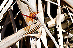 Red Dragonfly on dry sticks, Upper Newport Bay, CA.