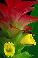 Close-up view of a red-and-green bract of rose turmeric (Curcuma olena or Curcuma elata) with two yellow flowers