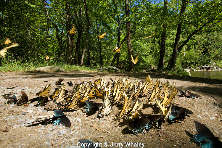 Butterflies Clustering at Mineral Lick, Greenbrier, Great Smoky Mtns NP, TN