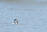 Clark's Grebe, Aechmophorus clarkii, catches a fish in Upper Klamath Lake, Oregon