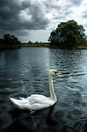 A white swan on a calm river in England