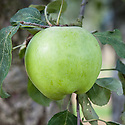 Apple 'Grantonian', late September. A large 19th century English culinary apple from Notingham. First recorded in 1883.