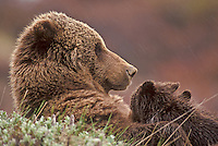Grizzly Bear nursing her cubs in Denali National Park, Alaska