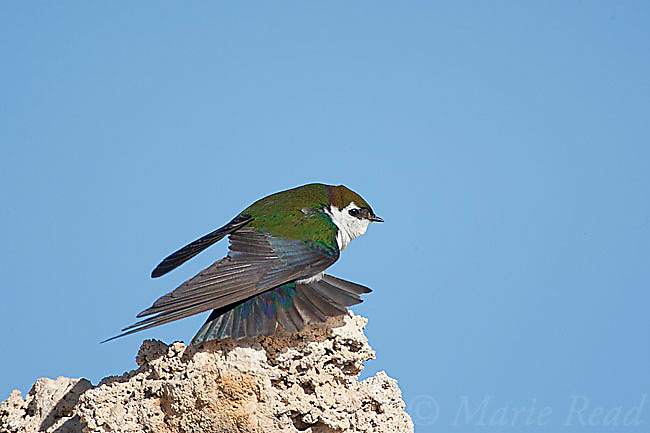 Violet-green Swallow (Tachycineta thalassina), male stretching its wings and tail, Mono Lake, California, USA