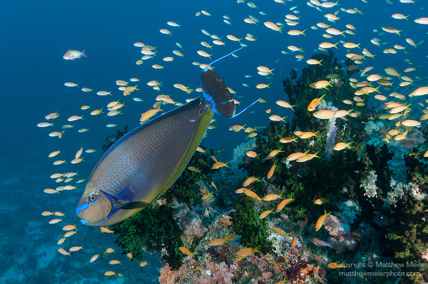 Guraidhoo Island, South Male Atoll, Maldives; a colorful Bignose Unicornfish (Naso vlamingii) and a school of Redfin Anthias fish swimming over a colony of Black Sun Corals on the coral reef