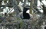 Anhinga Male Nesting 1-15-11-2667