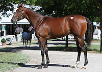 Hip #131 Distorted Humor - Mushka colt at the  Keeneland September Yearling Sale.  September 9, 2012.