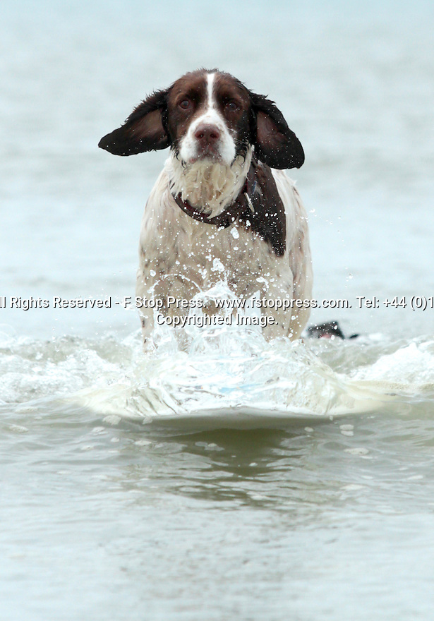 31/05/13<br /> <br /> With a hot spell marking the start of flaming June tomorrow, Springer spaniel, Monty (10), chills out on his surf board in the waves off East Wittering beach, West Sussex today.<br /> <br /> <br /> All Rights Reserved - F Stop Press.  www.fstoppress.com. Tel: +44 (0)1335 300098.