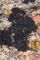 """Schwarze Krustenflechte, Schwärzliche Warzenflechte, an Küstenfelsen, Spritzwasserzone, Hydropunctaria spec., Verrucaria spec., Verrucaria-Gürtel, """"Schwarze Zone"""" als Grenze, Übergangszone vom Festland ins Meer"""