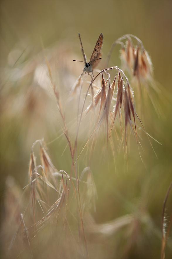 Common Blue butterfly, Polyommatus icarus, female on  Drooping Brome grass, Bromus tectorum.  Stenje region, Lake Macro Prespa (850m) <br /> Galicica National Park, Macedonia, June 2009<br /> Mission: Macedonia, Lake Macro Prespa /  Lake Ohrid, Transnational Park<br /> David Maitland / Wild Wonders of Europe