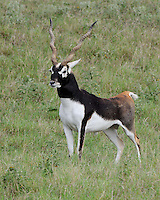 Blackbuck, Fossil Rim Wildlife Center, Texas