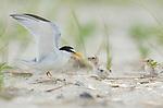 Least Tern (Sterna antillarum) adult feeding chick near nest, Nickerson Beach, Long Island, New York, USA