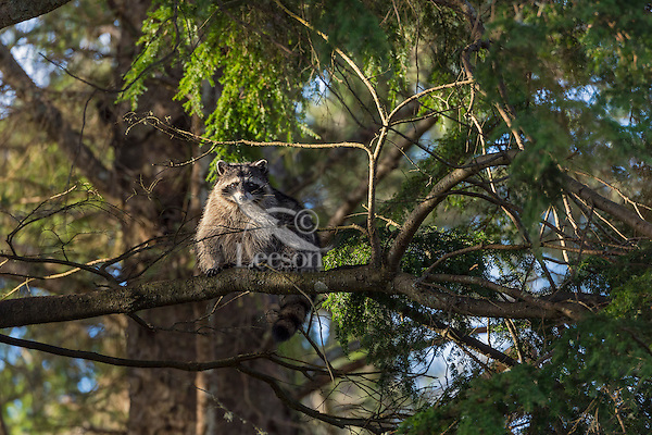 Raccoon (Procyon lotor) up in coastal hemlock tree.  Pacific Northwest.  Fall.
