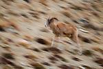 Argali (Ovis ammon) female running, Sarychat-Ertash Strict Nature Reserve, Tien Shan Mountains, eastern Kyrgyzstan