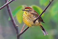 Adult male Palm Warbler, Dendroica palmarum