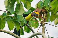 Chestnut -mandibled Toucan, Carara, Costa Rica, Central America