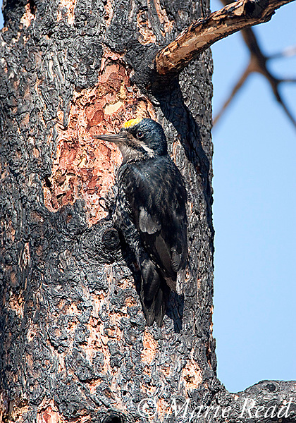 Black-backed Woodpecker (Picoides arcticus) male clinging to burned Jeffrey Pine trunk, Mono Lake Basin, California, USA. This species' preferred habitat is burned-over forest. It follows outbreaks of wood-boring beetles in recently burned coniferous forests.