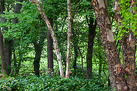 Betula nigra 'Heritage' - Heritage River Birch in Cranmer naturalistic woodland garden - Larry Weiner Design