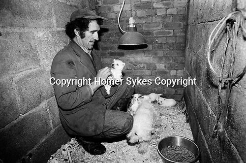Puppy Farming Wales 1989. A Welsh Hill farmer and puppy breeder with a litter of Westie's.<br />