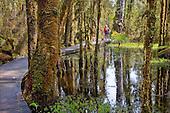 Wooden walkway through the Westland rain forest at Ship Creek, Westland District, West Coast, South Island, New Zealand.