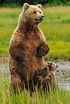 Brown bear sow and cubs, Lake Clark National Park, Alaska, USA