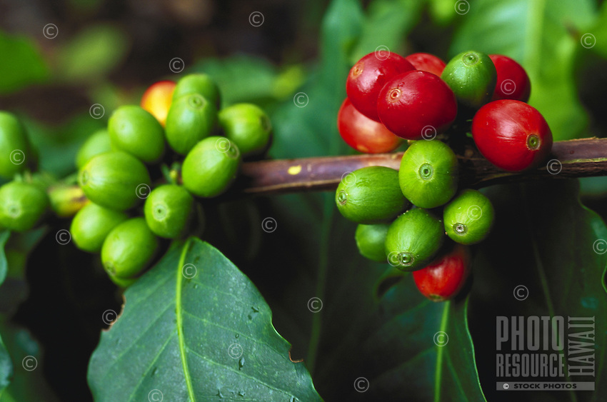 Kona coffee cherries on tree on big island of hawaii