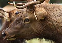 Elk - Roosevelt - Close Up