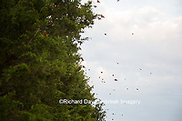 03536-05808 Monarch Butterflies (Danus plexippus) leaving roost in Eastern Red Cedar (Juniperus virginiana)  Prairie Ridge State Natural Area, Marion Co., IL
