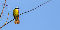 Fine Art Print Photograph, of a Great, Kiskadee, balancing on a branch against a blue sky as the sun's rays light his colourful breast beak and and head. Puerto, Vallarta, Mexico,