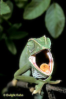 CH31-001z  African Chameleon - yawning, note tongue  - Chameleo senegalensis