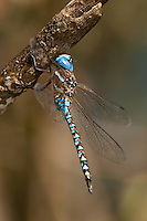339360012 a wild male blue-eyed darner dragonfly rhionaeschna multicolor  perches on a small limb at hornsby bend austin travis county texas united states