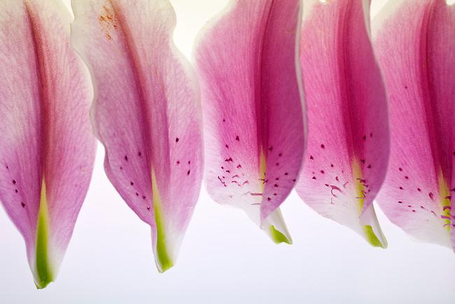 A composition of Lily Petals