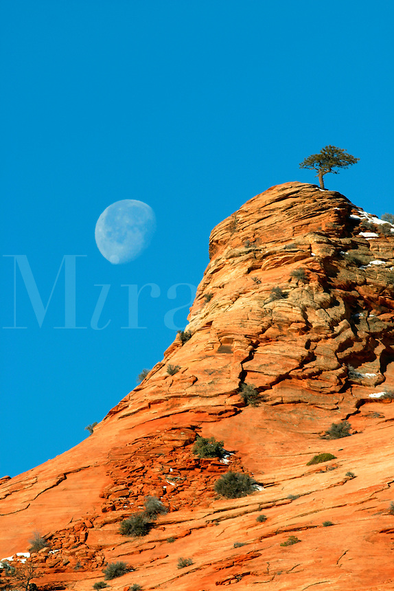 Tree on clifftop against blue sky with nearly full moon, Zion National Park, Washington County, U