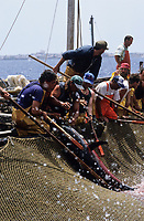 ITALY, Sicily, Egedian island Favignana, La Mattanza, traditional fishing of bluefin Tuna fish, harpooning and slaughter of tuna in the death chamber