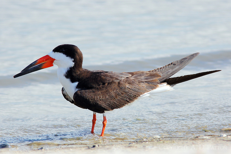 Adult black skimmer