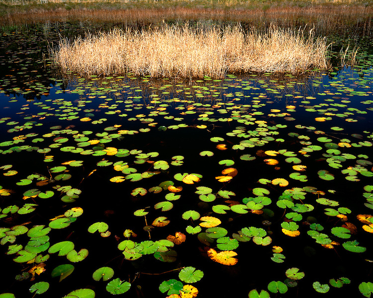 Lily pad-covered pond in a swamp; Okefenokee National Wildlife Refuge, GA