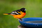 Baltimore Oriole perched on a bird bath
