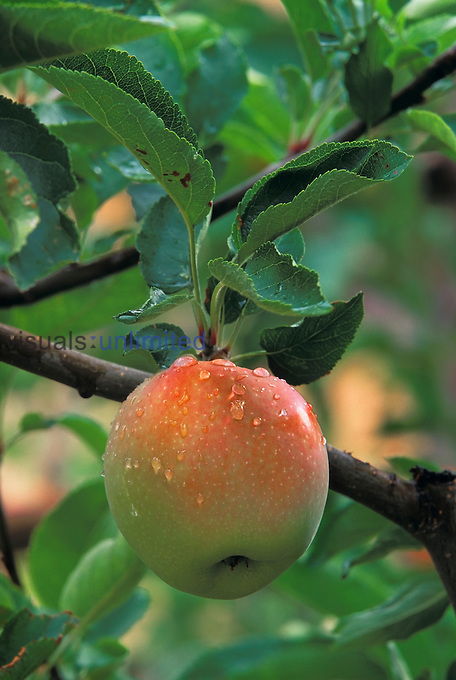 An apple in the ripening stage near harvest time.