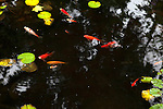 Goldfish pond with lilypads, NJ, USA