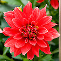 Dahlia 'Mayan Blood', early September.