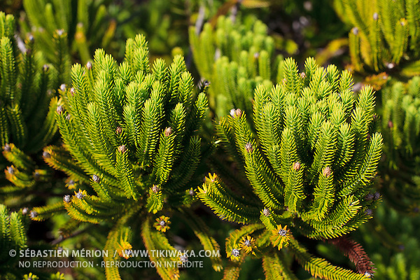 Neocallitropsis pancheri (Cupressacées) endémique de Nouvelle-Calédonie, où de petites populations se trouvent éparpillées le long des rivières, ettentiellement dans le Sud. Espèce protégée.