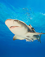 lemon shark, Negaprion brevirostris, with sharksuckers, Echeneis naucrates, Grand Bahama, Bahamas, Caribbean Sea, Atlantic Ocean