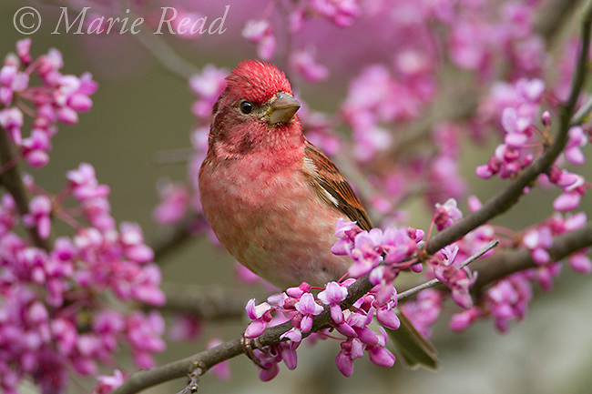 Purple Finch (Carpodacus purpureus) male perched in flowering eastern redbud in spring, New York, USA