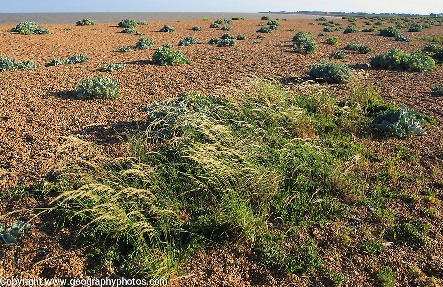 Vegetated shingle beach grasses and sea kale plants, Shingle Street, Suffolk, England, UK