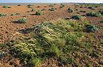 Vegetated shingle beach grasses and sea kale plants, Shingle Street, Suffolk, England, UK